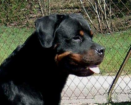 Rottweiler : l'�talon allemand NINO VON DER BLEICHSTRASSE